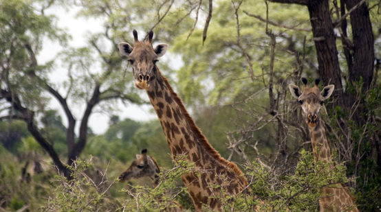 Massai-giraffen in het Selous wildreservaat in Tanzania